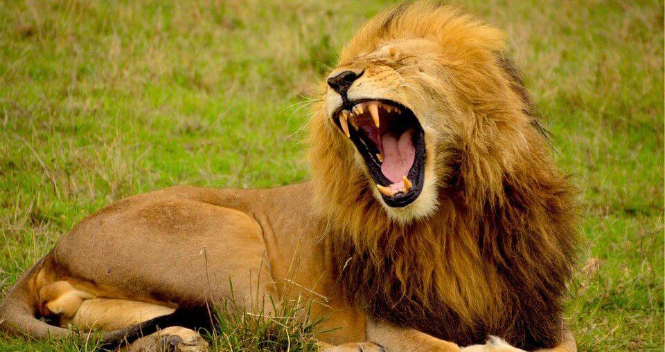 pickup lion
